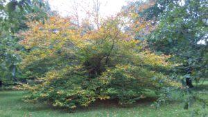 Fagus grandifolia (American beech or North American beech)