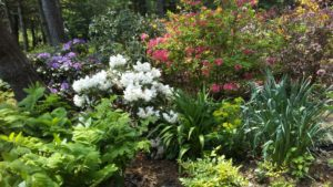 Classic rhododendron bushes