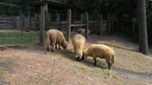 Sheep with tails